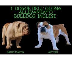 Allevamento di Bulldog Inglese