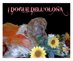 Allevamento di Dogue de Bordeaux